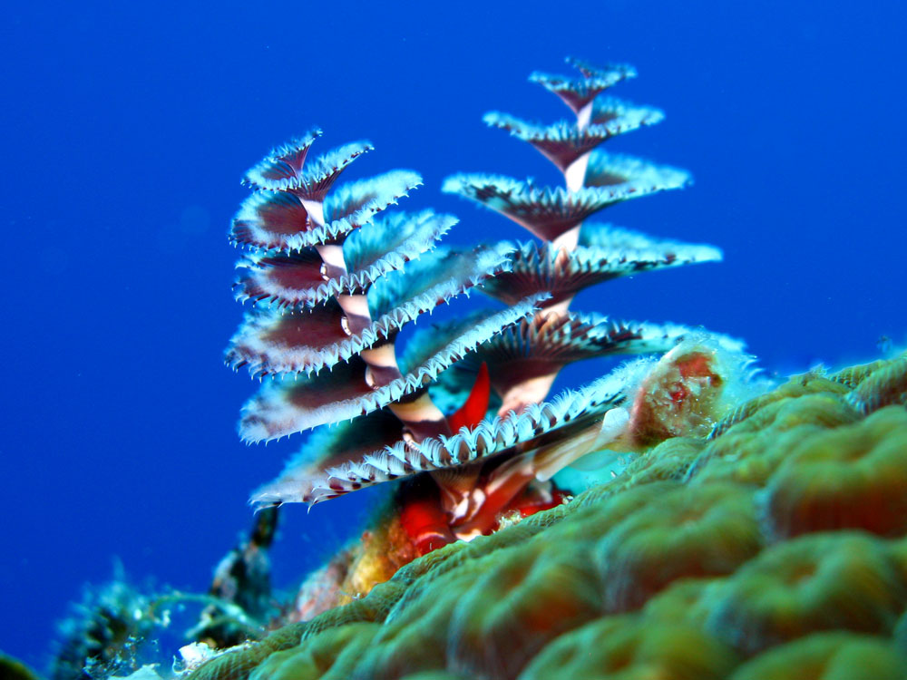christmas tree worm 6